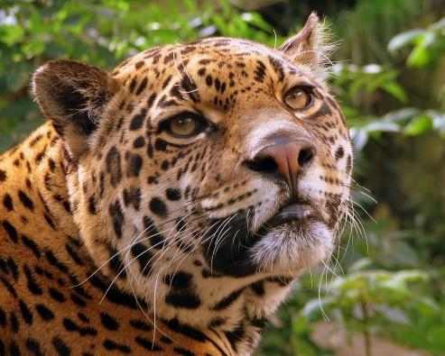 jaguar_at_edinburgh_zoo