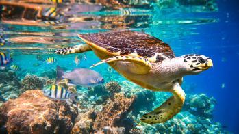 xl-maldives-hawksbill_turtle_-_maldives_indian_ocean_coral_reef